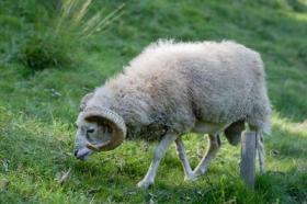 Con chiên lạc