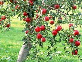 Hạt táo