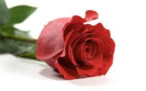 Câu chuyện gia đình: Một bông hồng cho những ai...