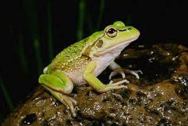 Tiếng kêu của ếch